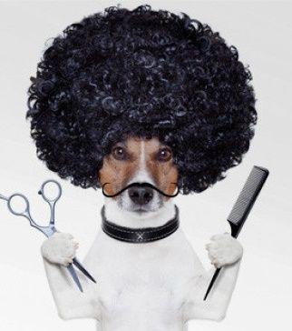 Pedro psi fryzjer
